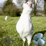 https://www.pipinchicksilkies.com/sapphire-emerald-laying-chicken-2/